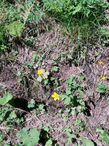 Ranuncolo-escursione botanica
