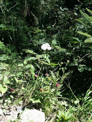 Achillea millefoglie e trifoglio pratense-escursione botanica