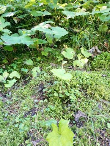 Radicchio selvatico-escursione botanica