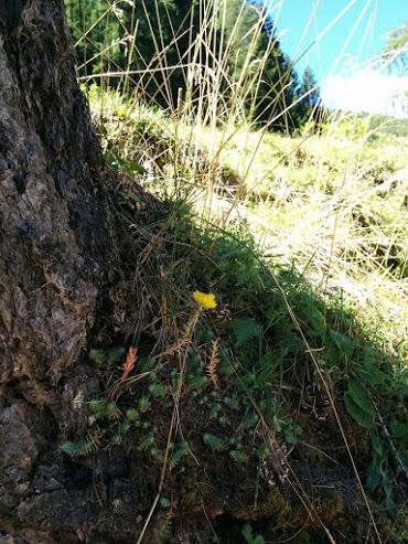 Fiore del sedum-escursione botanica