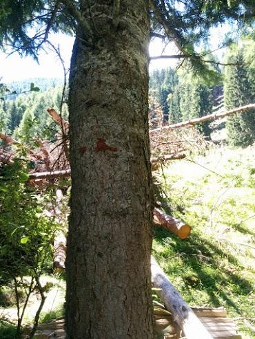 Corteccia di abete bianco-escursione botanica