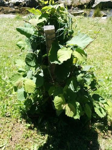 Nocciolo-escursione botanica