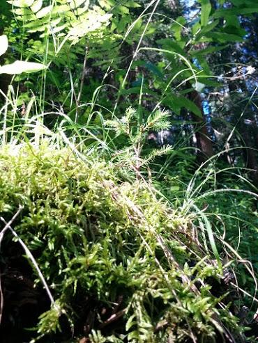 Abetino rosso che cresce sopra al ceppo-escursione botanica
