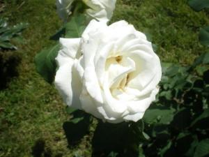 Rosaio ibrido a grandi fiori bianchi