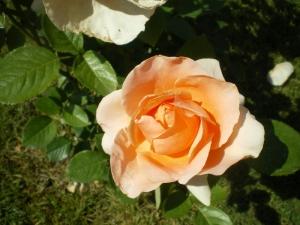 Rosa Carla Crosa di Vergani