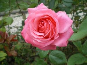 Rosa x2