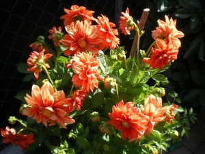 Dahlia decorativa orange